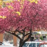 Jabuka u cvatu